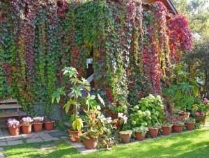 Вертикально озеленение на даче