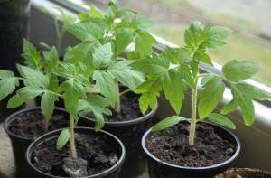 Чем поливать рассаду помидоров для роста