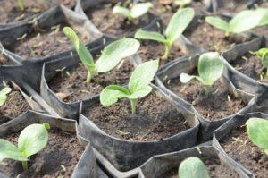 Когда и как нужно сеять кабачки на рассаду