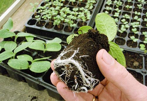 мастер-класс: как посадить семена кабачков на рассаду КЧР сутки