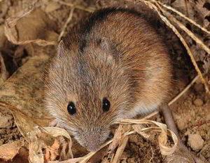 Как можно избавиться от мышей-полевок на даче