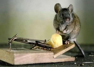 Как избавиться от мышей-полевок на даче