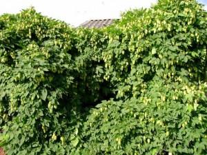 Как избавиться от хмеля на садовом участке