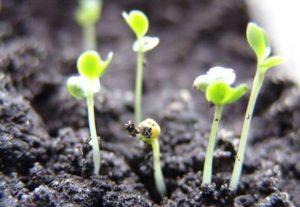 Как спасти рассаду капусты, если она вытянулась