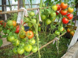 Обработка помидоров фитоспарином