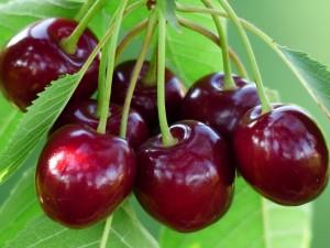Сорта черешни для Сибири