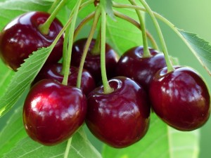 Сорта черешни для Нижегородской области
