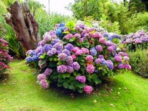 Какие удобрения лучше выбрать для садовой гортензии