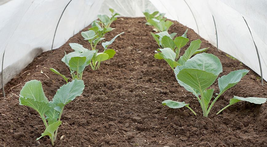 Как сажают цветную капусту на рассаду 3