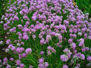 Особенности выращивания лука шнитт