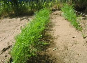 Почему растет укроп на огороде