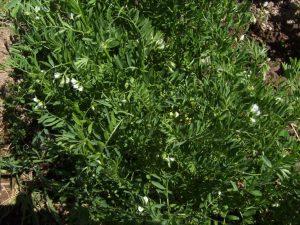 Выращивание чечевицы