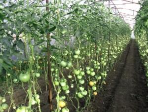 Формирование помидоров в два стебля