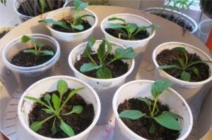 Выращивание пестемона из семян