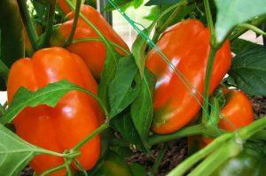 Характеристика и описание сорта перца оранжевое чудо