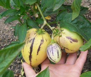 Выращивание пепино в домашних условиях и уход