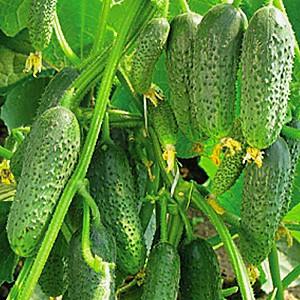 сорта огурцов самые урожайные