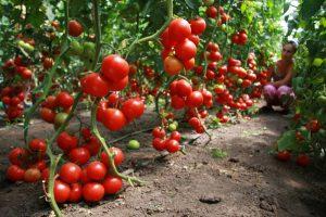 Что не терпят помидоры