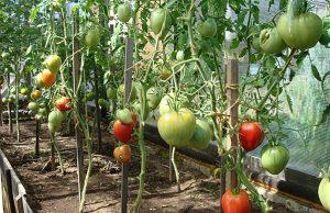 Обрезка томатов в теплице