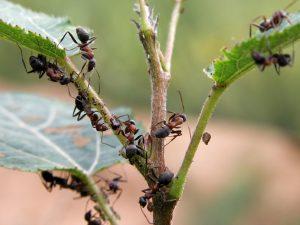 избавиться от муравьев в парнике
