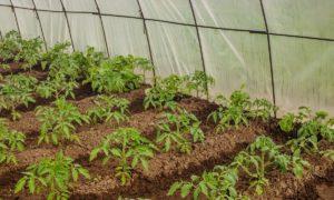 Спасаем рассаду от резкого похолодания