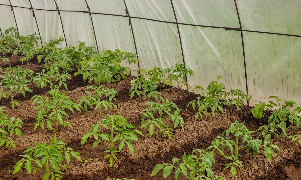 Уход за рассадой огурцов и помидор 97