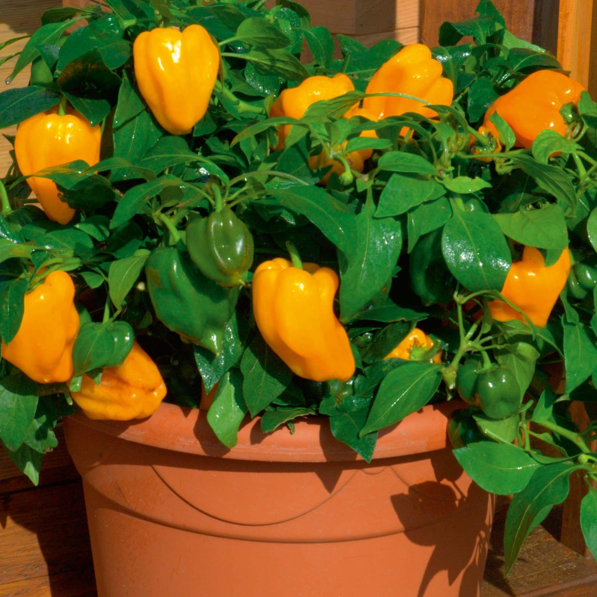 Выращивание перца зимой в квартире 62
