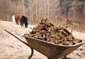Как правильно разводить конский навоз для подкормки растений