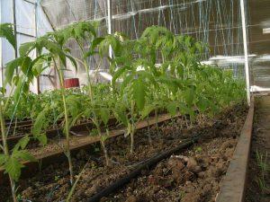 Как правильно сажать помидоры в парник рассадой
