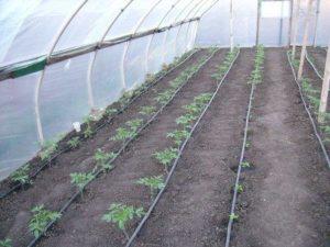 сажать помидоры в парник рассадой