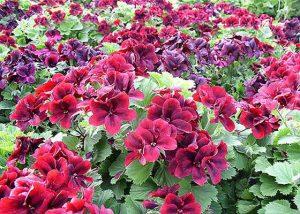 Лучшие однолетние цветы для дачи и их названия (1)