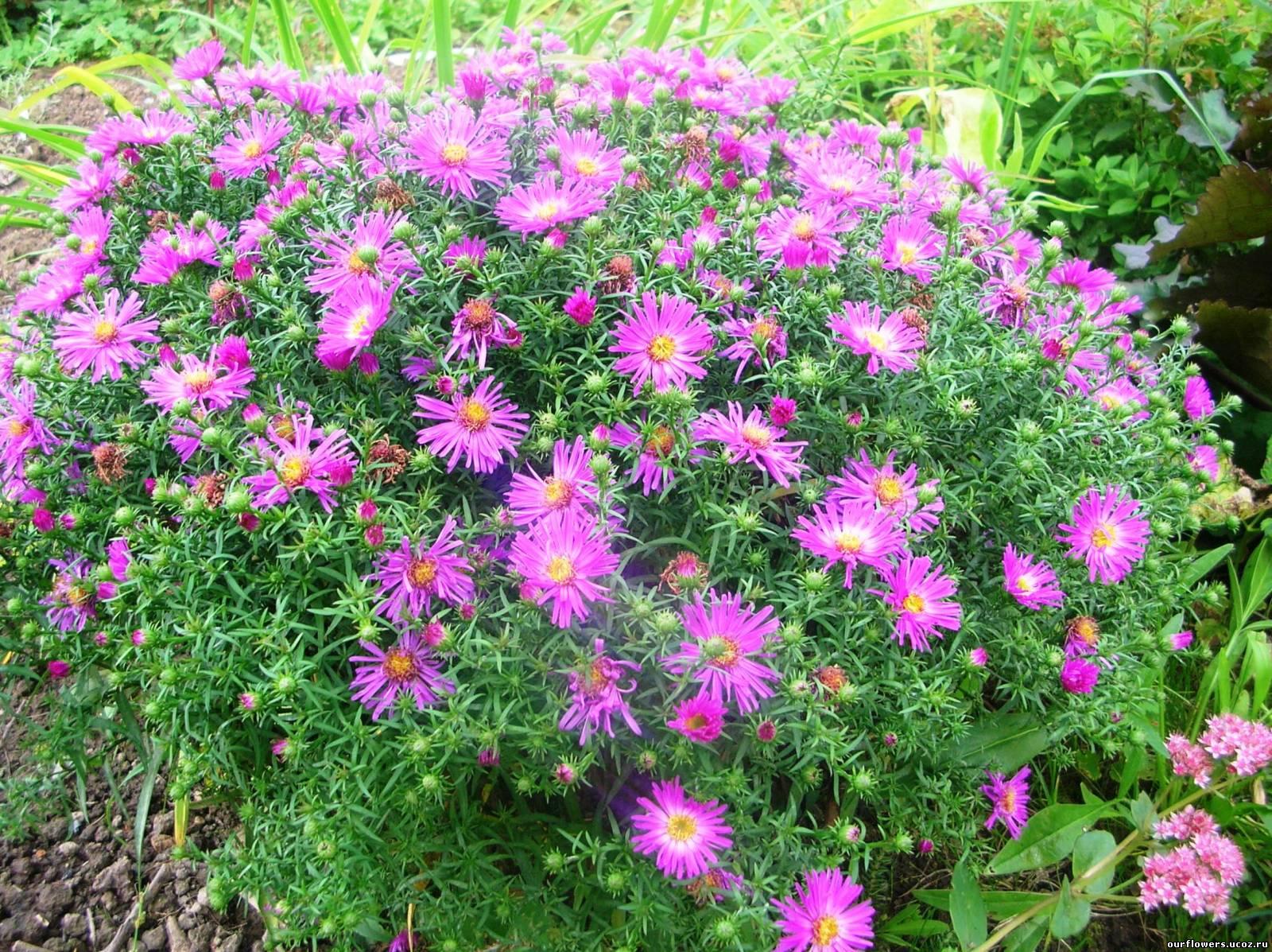 Цветы для дачи фото с названиями для сибири
