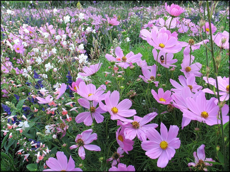Однолетние цветы фото и название по алфавиту