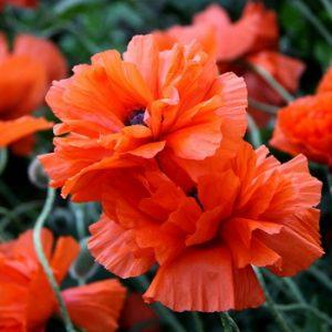 Можно ли выращивать мак на садовом участке и какой