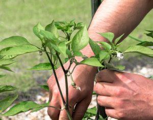 Нужно ли обрывать первые цветы у перца и как это делается