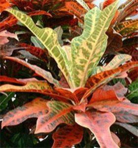 Почему кротон сбрасывает листья и как это исправить