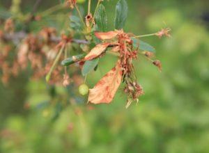 Почему на вишне сохнут ветки и листья и как это исправить