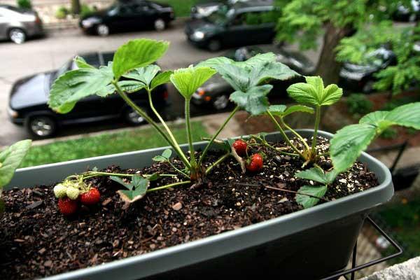 Клубника выращивание дома в квартире 71