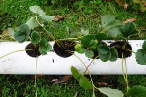Горизонтальное выращивание клубники в трубах ПВХ для новичков