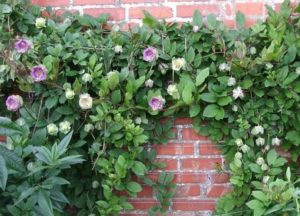 Особенности выращивания лазающей кобеи из семян в домашних условиях