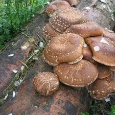Пошаговое выращивание грибов шиитаке в домашних условиях