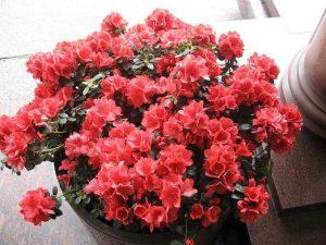 Пошаговое выращивание и уход за азалией в домашних условиях