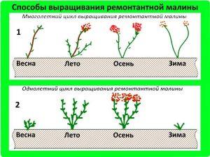 Пошаговое выращивание и уход за ремонтантной малиной в домашних условиях