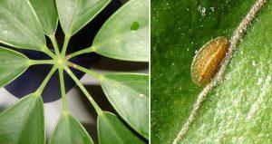 Как бороться с щитовкой на комнатных растениях