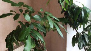 Как можно вырастить лонган в домашних условиях