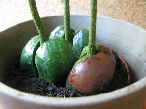 Как посадить каштан из ореха на дачном участке