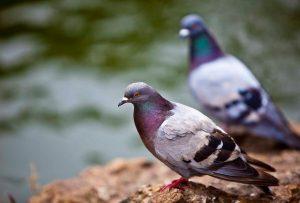 Как применяется голубиный помет как удобрение