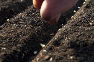 Как проводятся подзимние посевы овощей