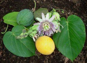 Как выращивать маракуйю в домашних условиях