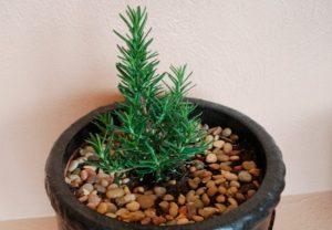 Как выращивать розмарин в квартире